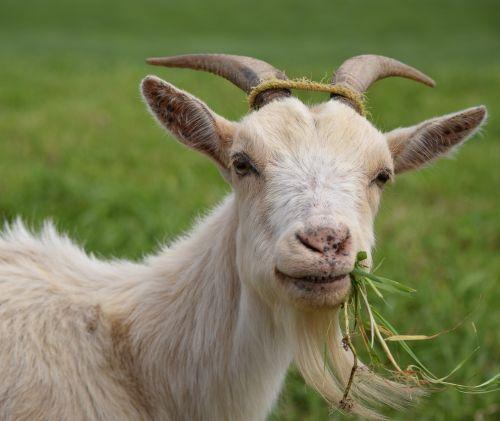 pourquoi les chèvres perdent-elles du poids vodka brûler les graisses