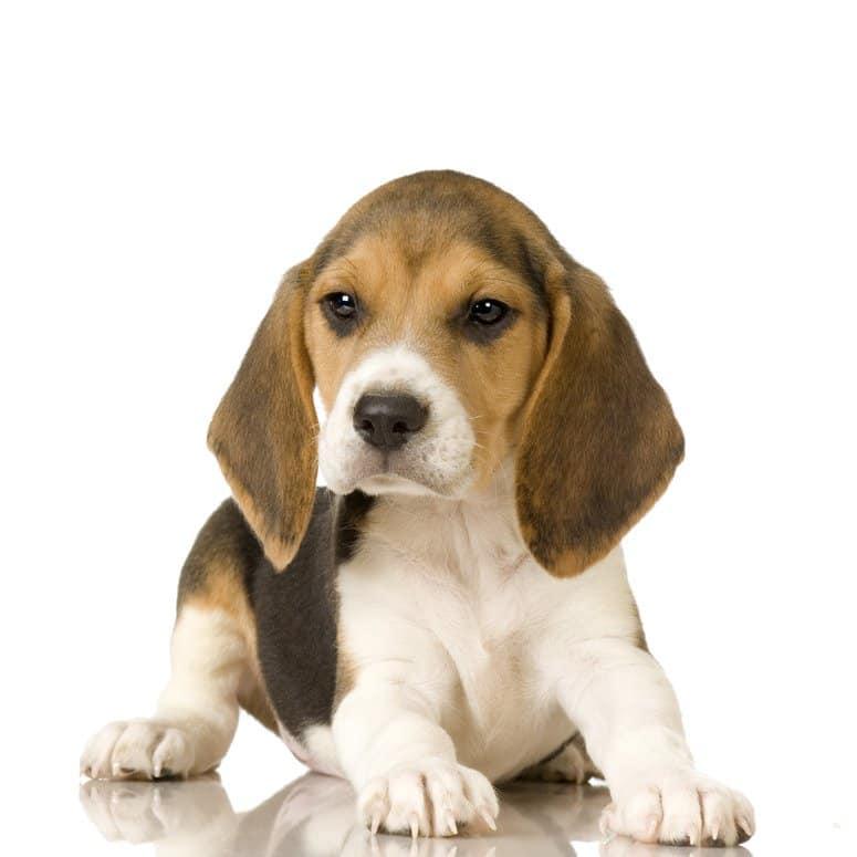 perte de poids pour les beagles