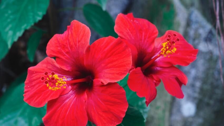 hibiscus pour minceur repas efficaces pour perdre du poids