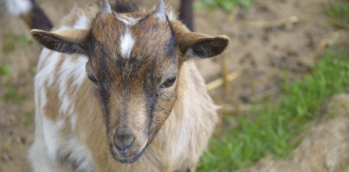pourquoi les chèvres perdent-elles du poids Wyoming perte de poids Gillette