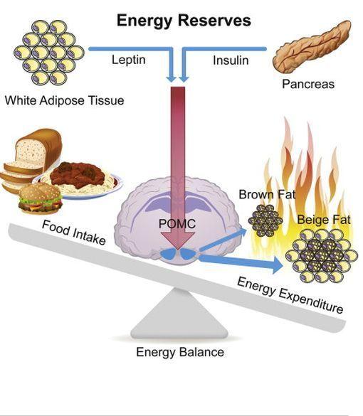 enzyme de combustion des graisses