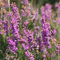Tisane Bruyère fleur mondée GRS - France Herboristerie