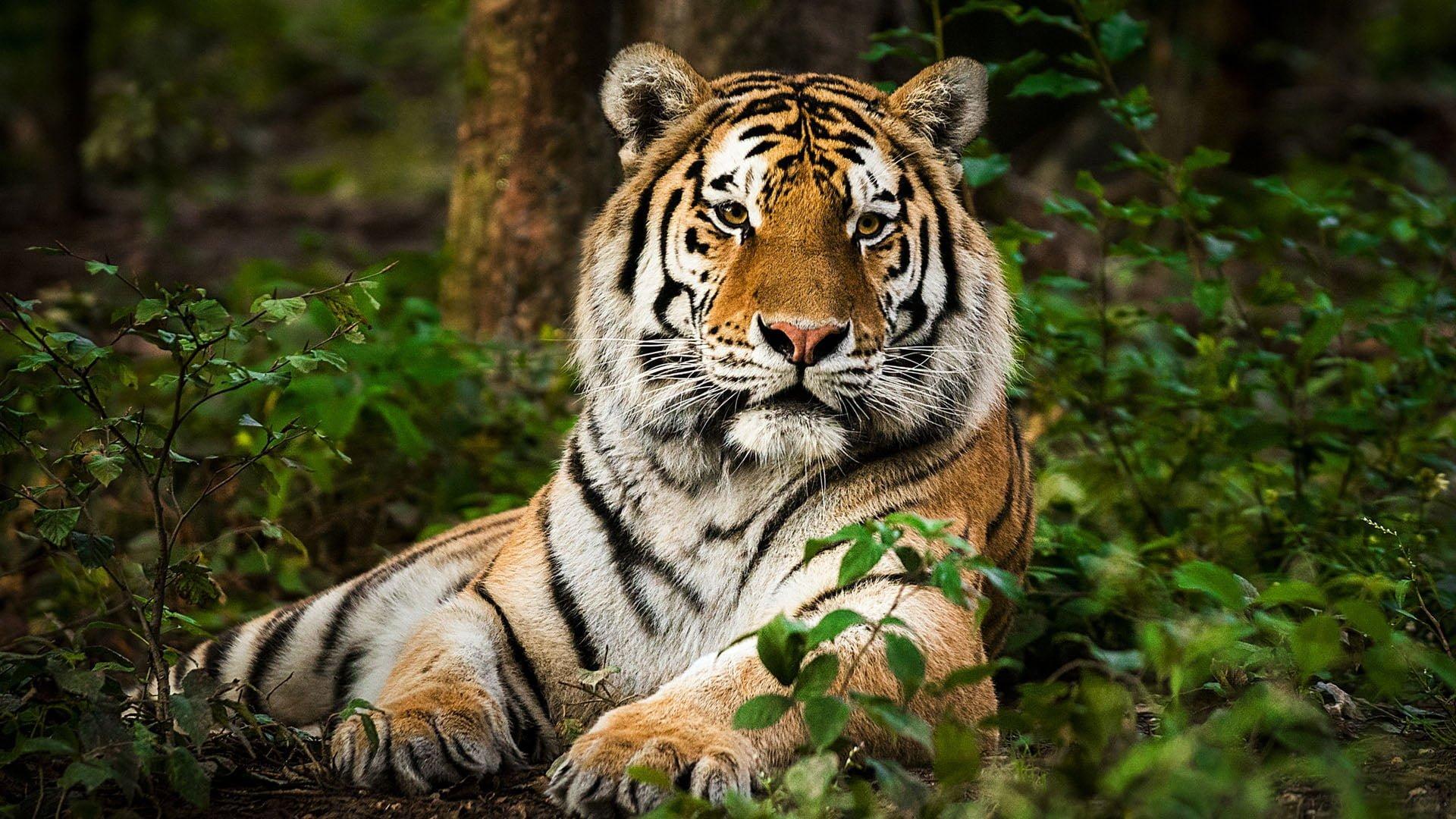 Le tigre du Bengale est stressé et perd du poids - Fondation 30 Millions d'Amis