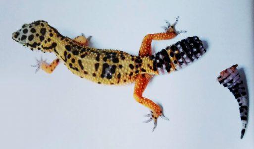 perte de poids chez les geckos léopards