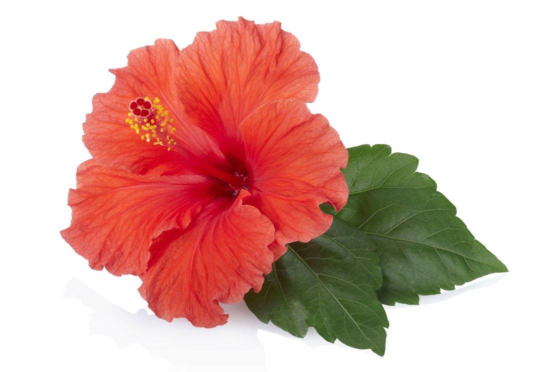 hibiscus pour minceur brûler la petite graisse du ventre
