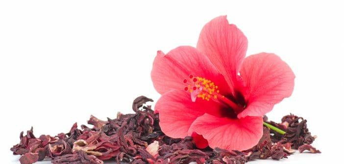 hibiscus pour minceur les grosses bombes vous aident à perdre du poids