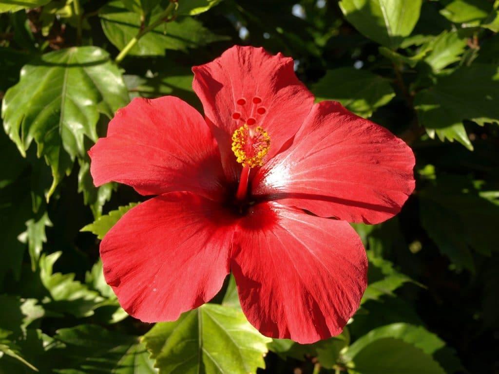 L'infusion d'hibiscus agit sur le poids, la pression et les inflammations