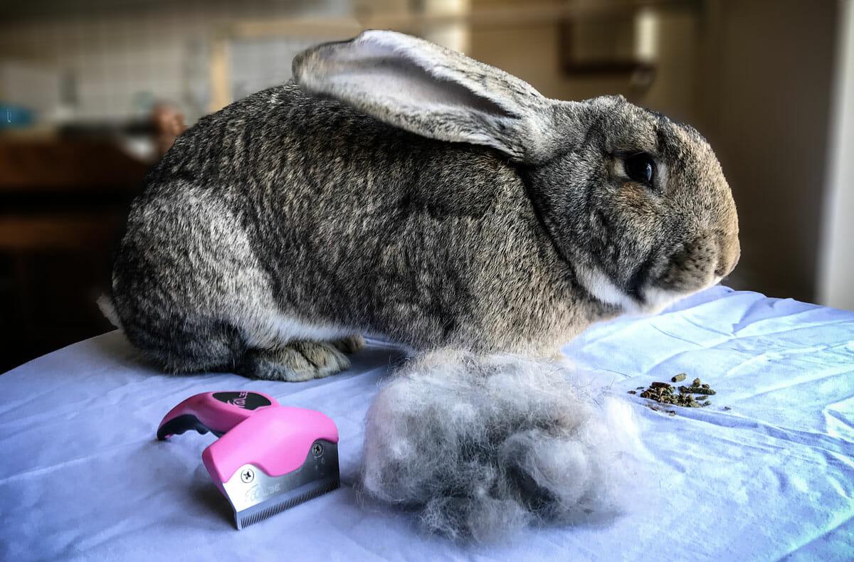 perte de poids de lapin nain perte de poids maria callas