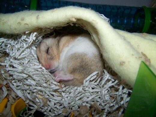perte de poids chez les hamsters syriens