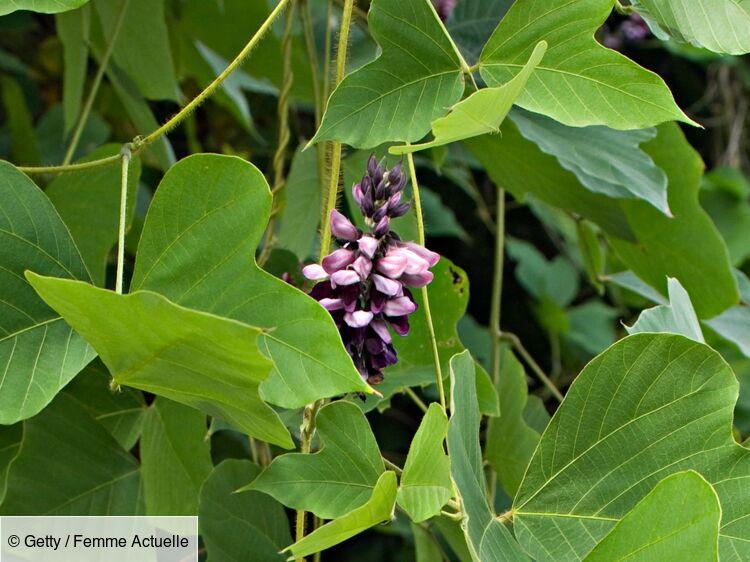 Kudzu, la plante grimpante anti-addictions